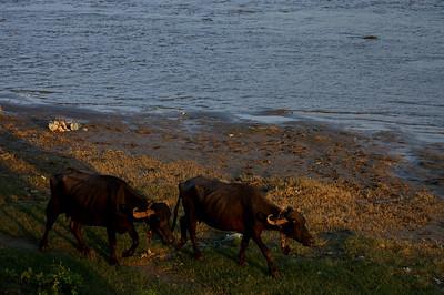 Water buffaloes at the river Jumma