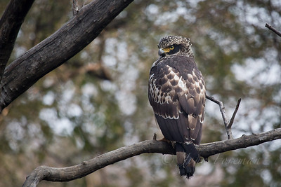 Serpent Eagle, Rathambore