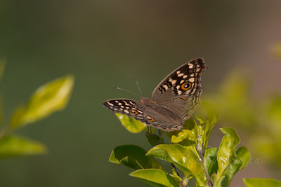 Lemon Pansy, Ranthambore