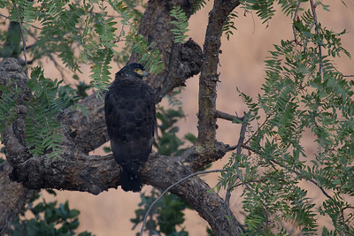 Serpent Eagle, Ranthambore