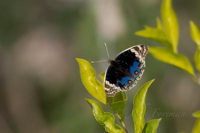 Blue Pansy, Ranthambore