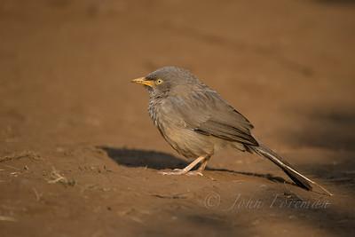 Jungle Babbler, Ranthambhore