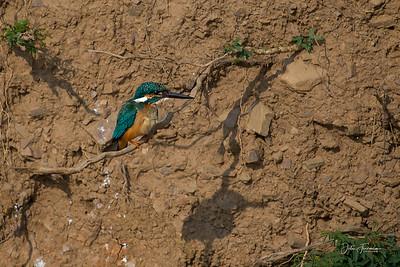 Common Kingfisher, Ranthambore