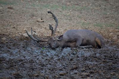 Sambar Deer, Ranthambhore