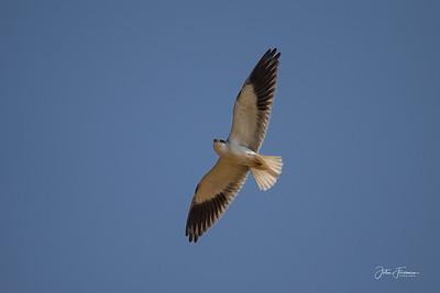 Black-winged Kite, Ranthambore