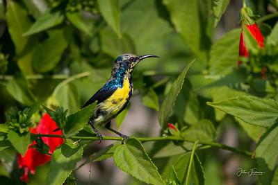 Purple Sunbird, Ranthambore