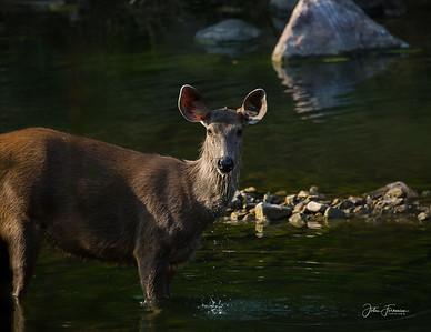 Sambar Deer, Ranthambore