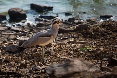 Stone Curlew, Ranthambore