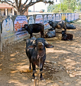 Cows outside the school gate.
