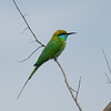 Little Green Bee-eater in Kanha National Park