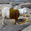 Goat on the Ghats (Varanasi)