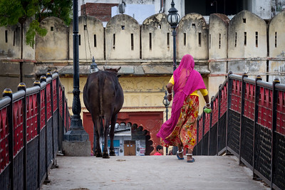 Udaipur Woman walking with Cow