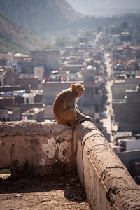 Monkeys Jaipur