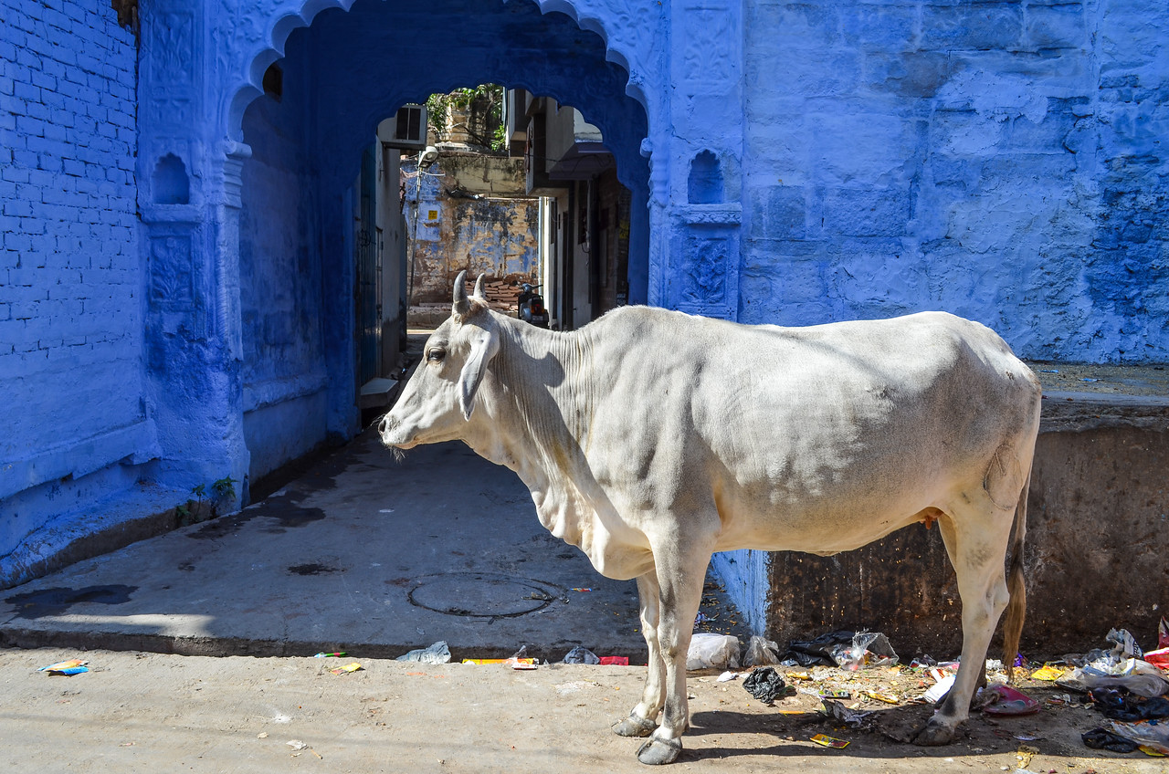 Cow and blue wall