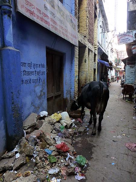 Cow and Trash (Varanasi)