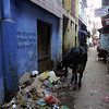 Cow and Trash (Varanasi)