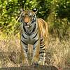 2 year old female Bengal tiger in Bandhavgarh National Park