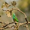 Blue-birded Bee-eater in Bandhavgarh National Park