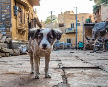 Jaisalmer puppy