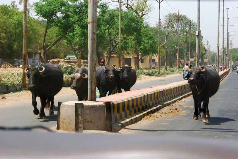 Water buffalo, on the road between Delhi and Agra, Inida.