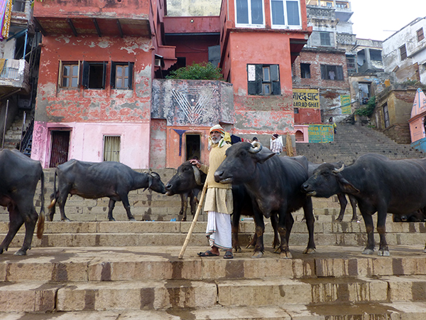 Oxen on the Ganges (Varanasi)