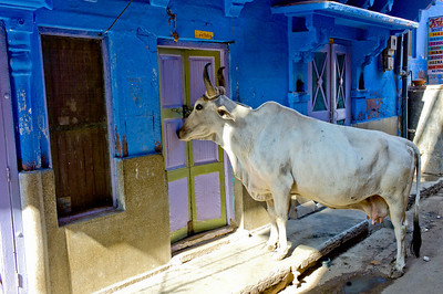 Holy Cow! Jodhpur, India.