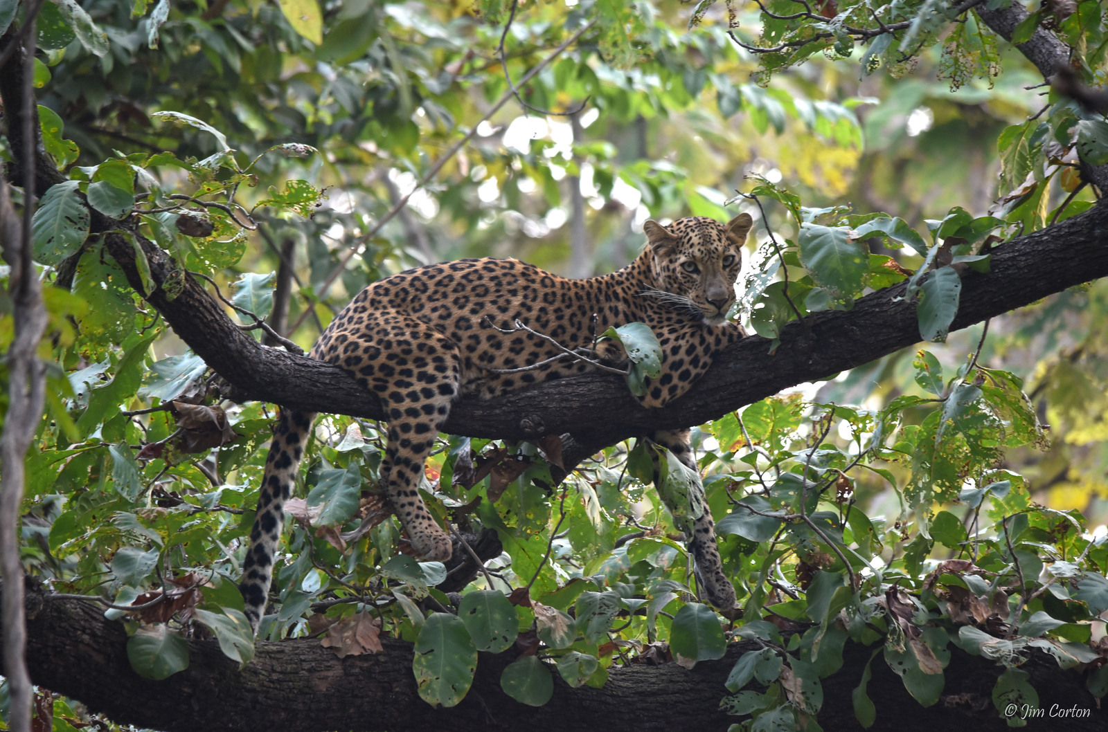 Indian Leopard (female) ..... a Near Threatened Species