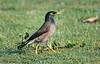 Mina bird
