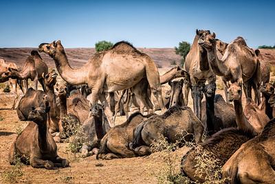 Camel herd, Thar desert