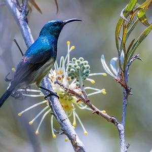 Souimanga Sunbird