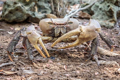 Hairy-legged Land Crab