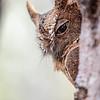Madagascar Scops-Owl