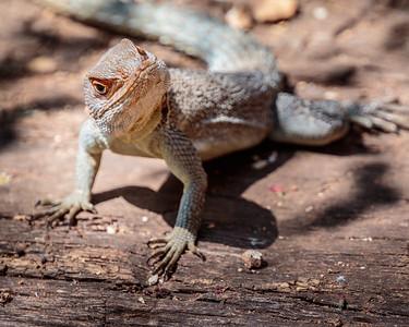 Collared Iguana