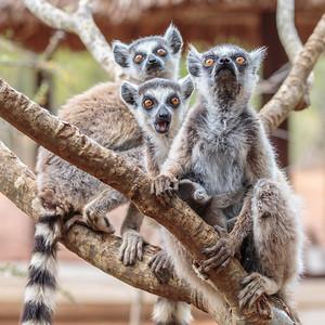 Ring-tailed Lemur, Berenty Reserve, Madagascar