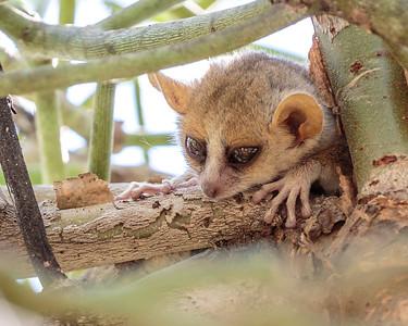 Reddish-grey Mouse Lemur