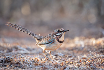 Long-tailed Ground Roller, Reniala Spiny Forest