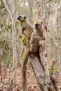 Red-fronted Brown Lemur, Kirindy Forest, Morondava, Madagascar