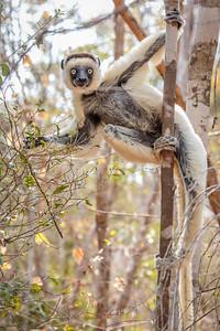 Verreaux's Sifaka, Berenty Reserve, Madagascar
