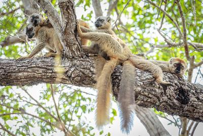 Kirindy Forest, Morondava, Madagascar