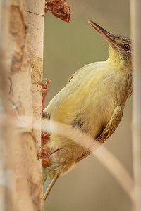 Long-billed Tetraka
