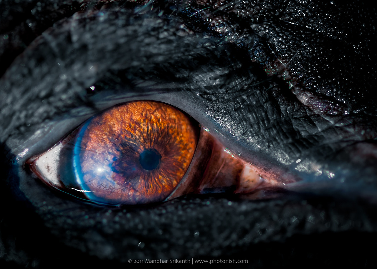 Elephant Eyes, Shimoga.