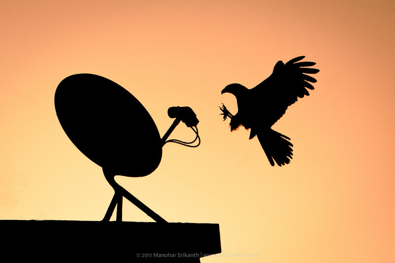 Eagle perching on a tv antenna. Pune,India.