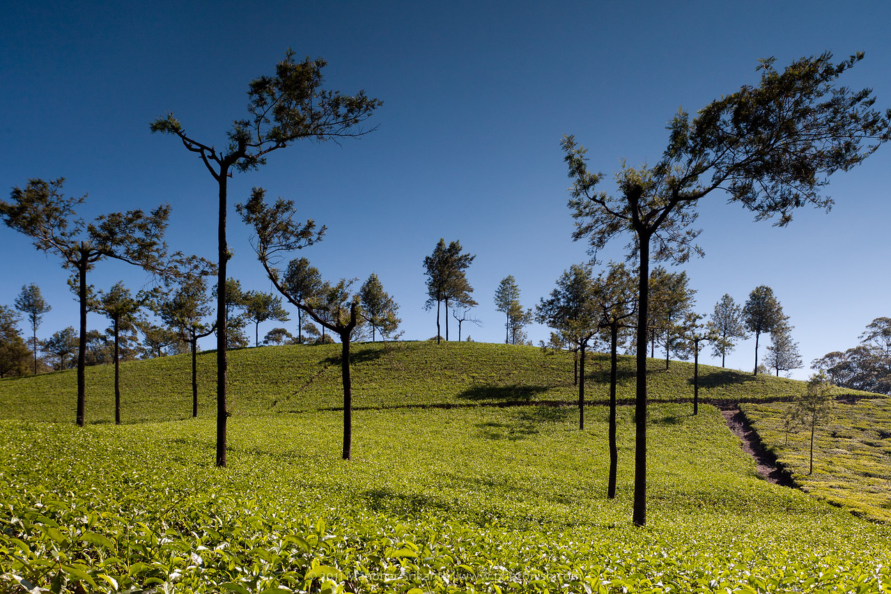 Munnar TATA Tea Estate.