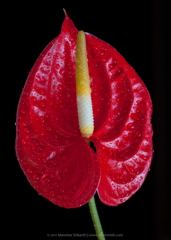 Anthurium at home (Shimoga)