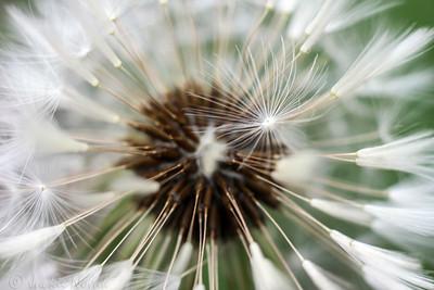 Dandelion and Little Fluff
