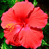 Hibiscus from the front porch.