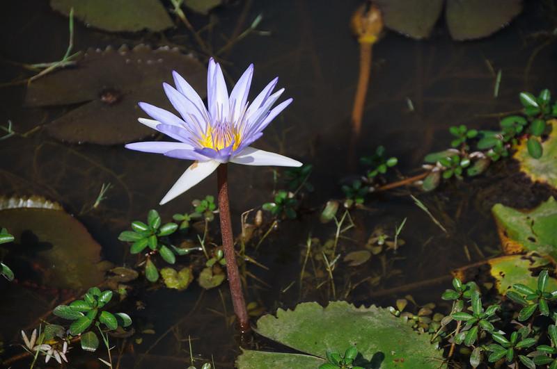 Lotus blossom.