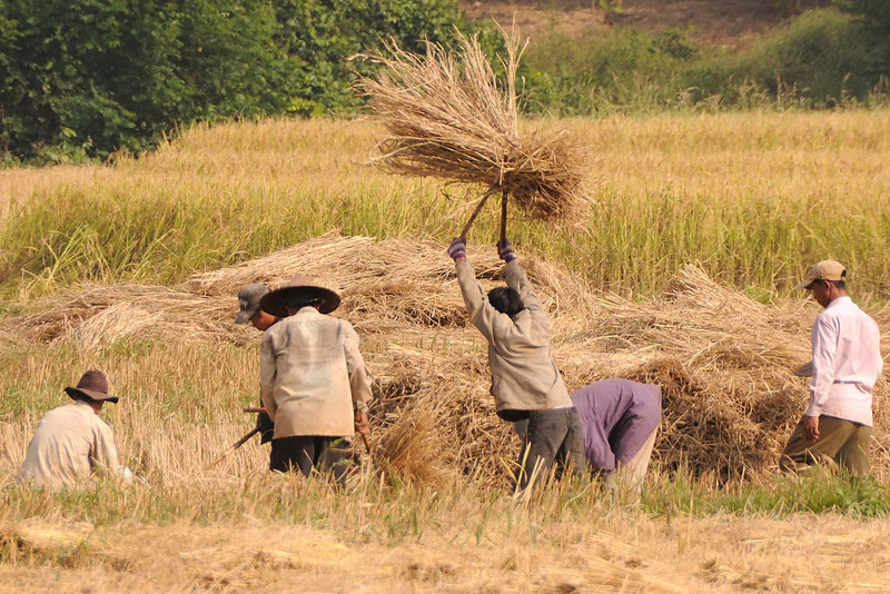 Threshing the harvested rice crop