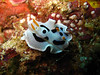 Nudibranche Wakatobi