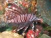 Turkeyfish Wakatobi